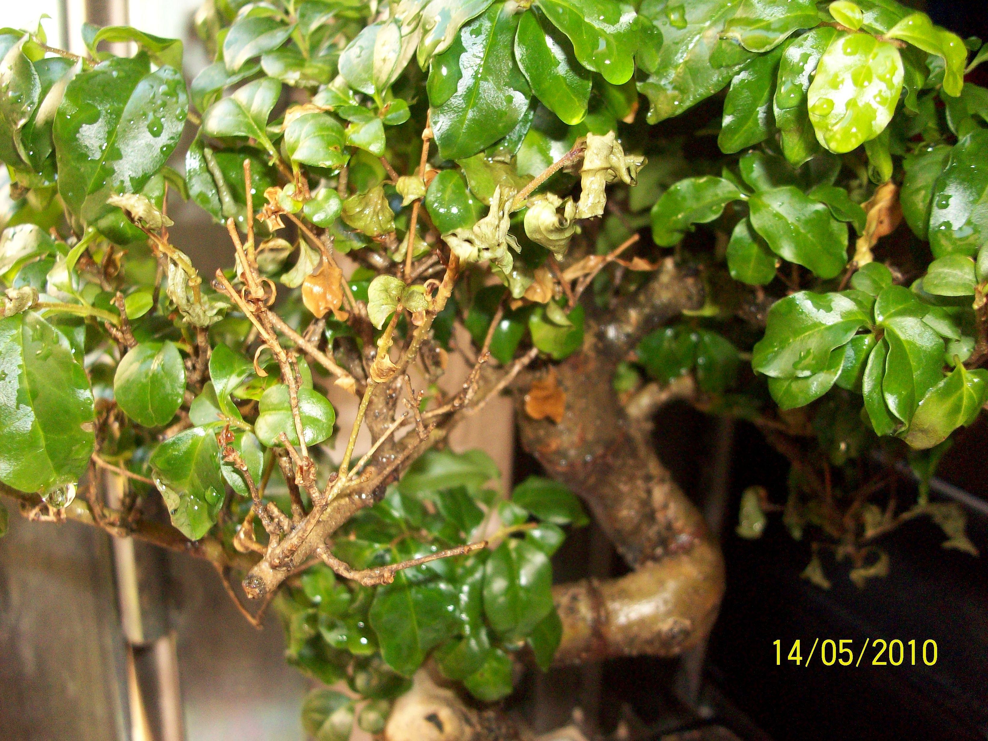 Algo le pasa a mi bonsai A08f24b159c931da718cc8d047234c96o