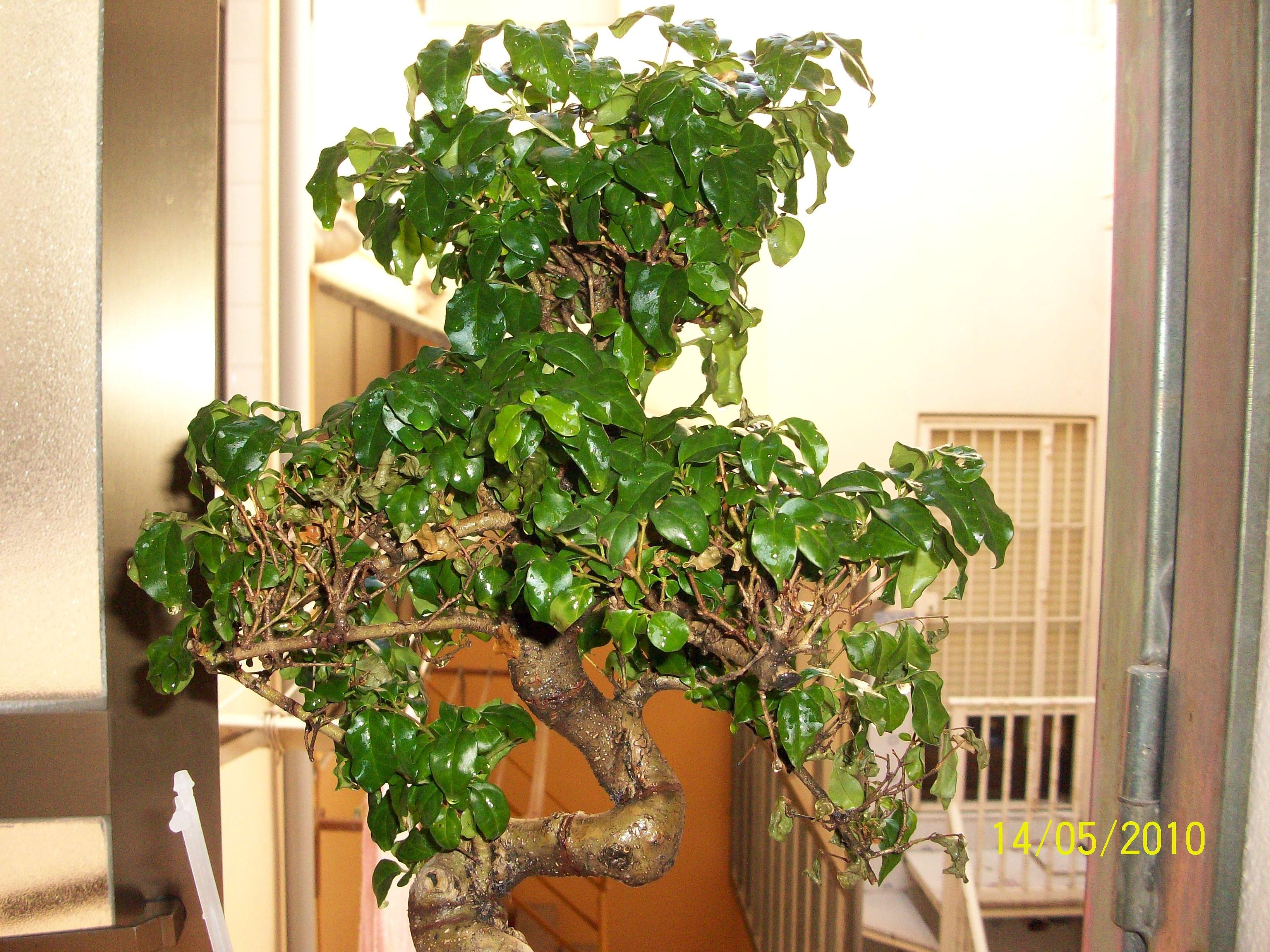 Algo le pasa a mi bonsai F4349444633ee37c40b3c9b4c89dc845o