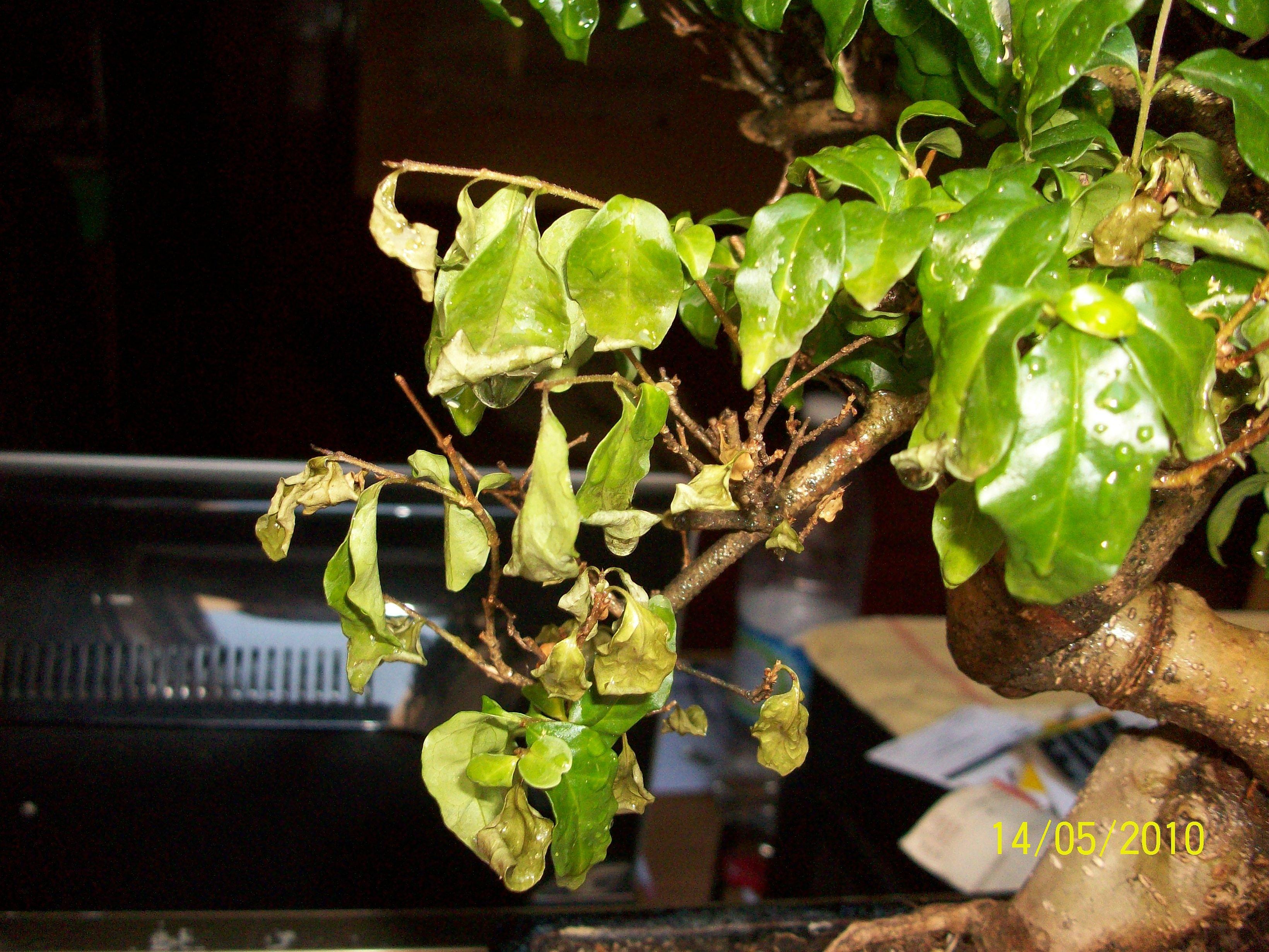 Algo le pasa a mi bonsai Fe285d48cd7d0d129f5c4ac030511fb3o