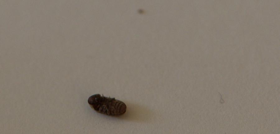 Au secour c'est l'invasion, qui sont ces insectes ? DSC_6784