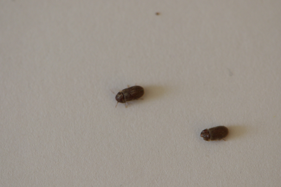 Au secour c'est l'invasion, qui sont ces insectes ? DSC_6786