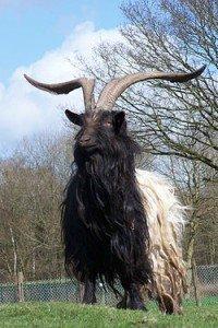 Animal de Martine - 22 mars trouvé par Ajonc 250px-wallische_bok-200x300