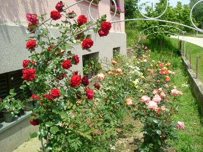 Ruža DSCF2829