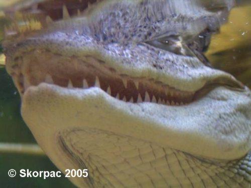 Krokodili Slika_4_SZ_Kajman