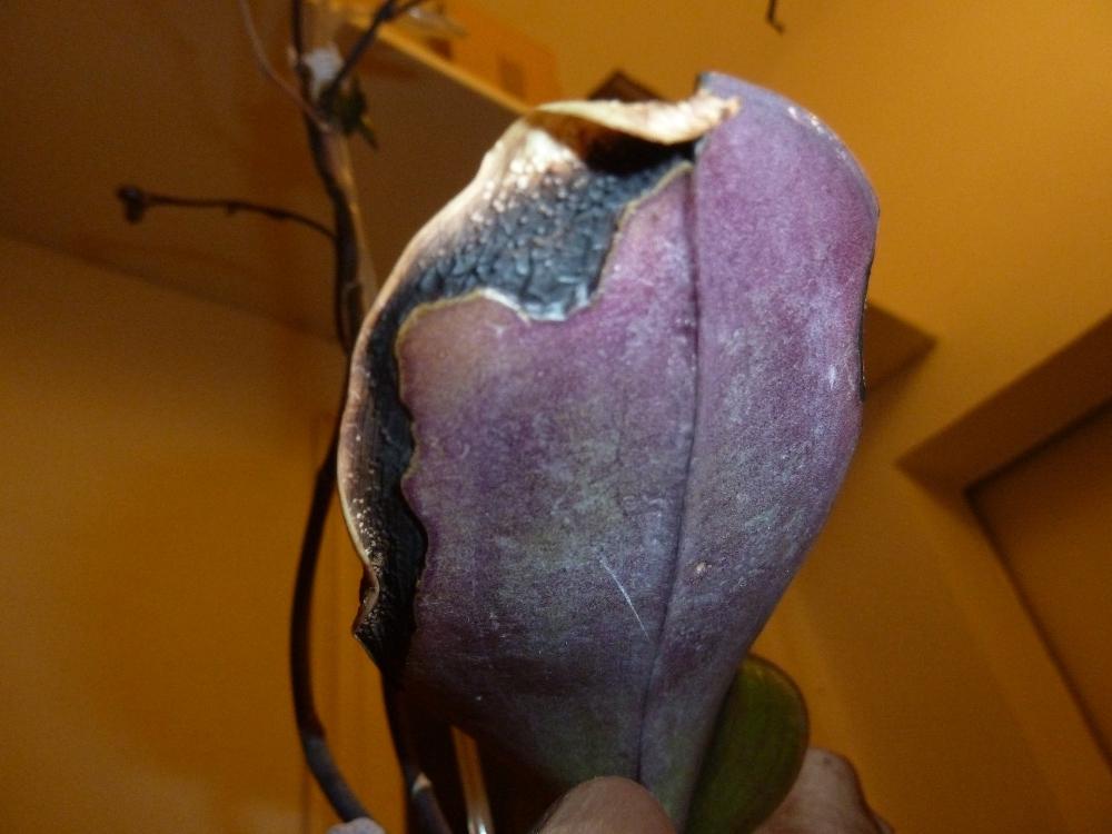 Schwarze Blattränder bei Phalaenopsis Y8ti9flp