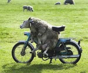Achat d'une MZ: besoin d'avis Mouton-moto-sans-casque
