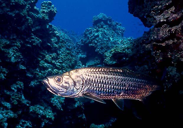 Peces Grandes Sanos, Crías Cada Año Cayman-tarpon
