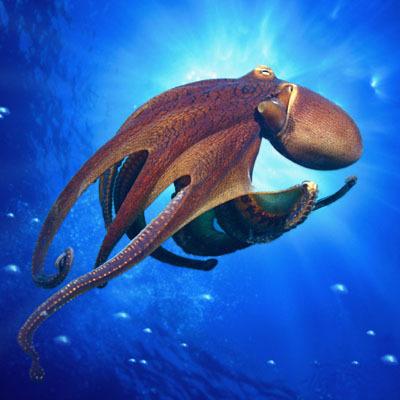 Hobotnica (Octopus cyanea) Octopus-cyanea