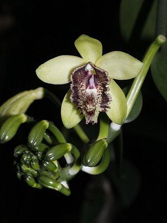 HOA GIEO TỨ TUYỆT - Page 22 Orchidej-vanilla-atropogon-02_denik-600