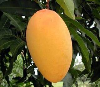 النباتات العملاقة - صفحة 2 20pcs-bag-giant-Mango-bonsai-Seeds-fruit-tree-seed-mango-tree-plant-for-garden-DIY-pot