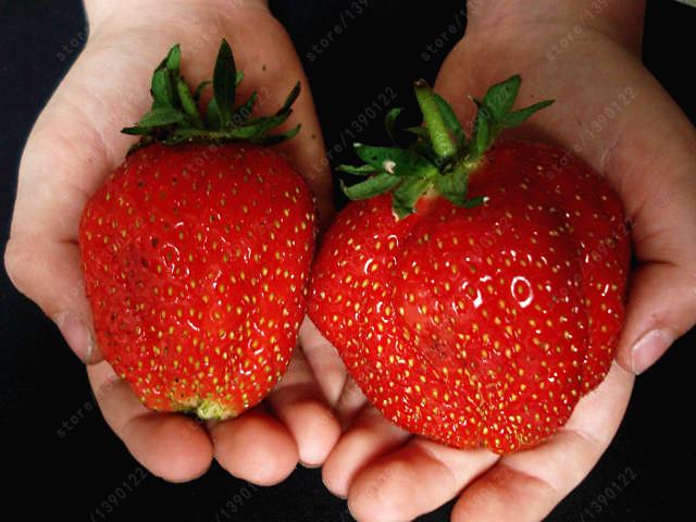 النباتات العملاقة 300pcs-bag-strawberry-font-b-seeds-b-font-font-b-giant-b-font-strawberry-Organic-fruit