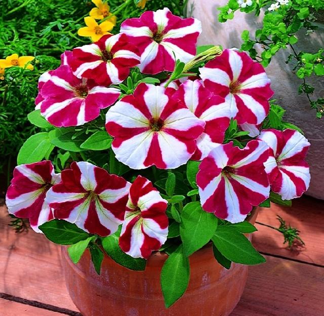 Fleur de Martine 6/12/2015 trouvée par Pitchoune 100-pcs-saco-rouge-rose-bleu-violet-blanc-arc-en-petunia-graines-sementes-de-flores-bonsai