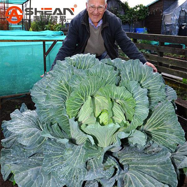 النباتات العملاقة 200-pcs-Rare-Giant-Cabbage-font-b-Seeds-b-font-Largest-of-All-Cabbage-Nutritious-Brassica
