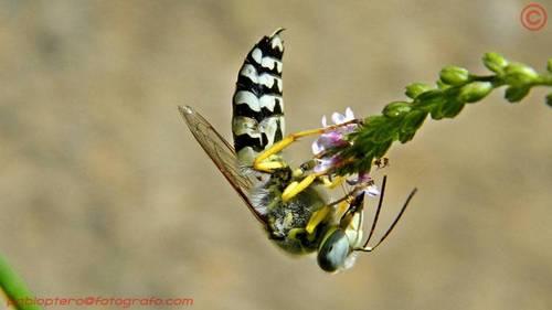 Bộ sưu tập côn trùng 2 DSCN9834_Zyzzyx_chilensis