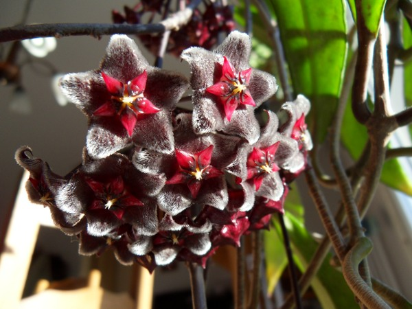 Hoya pubicalyx 'Red Button' H__pubicalyx_20_03_13_ombelle_petit