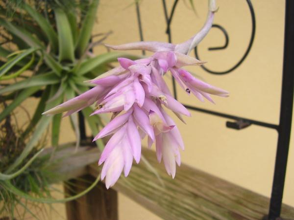 Tillandsia cacticola T__cacticola_25_10_13_petit