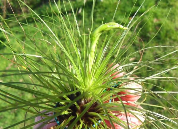 Promesses de floraison de Tillandsias T__filifolia_05_12_12_petit