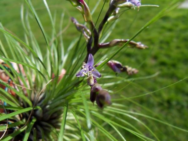 Tillandsia filifolia T__filifolia_20_03_13_fleur_petit