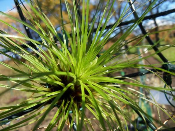 Promesses de floraison de Tillandsias T__filifolia_21_11_12_petit