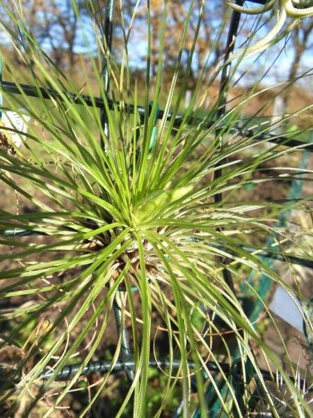 Promesses de floraison de Tillandsias T__filifolia_25_11_12_petit