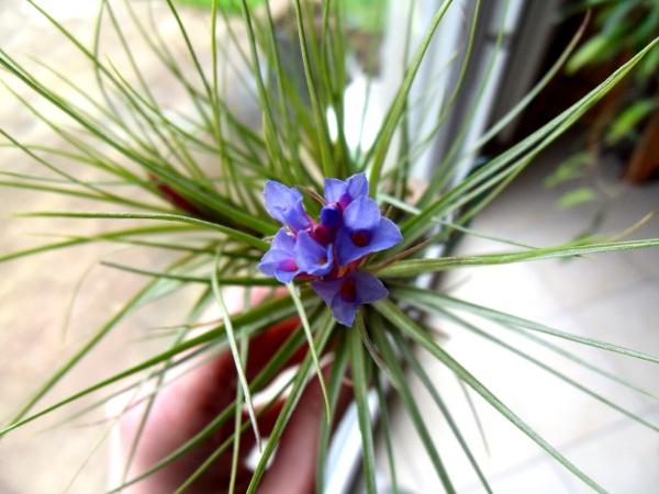 Tillandsia tenuifolia [MàJ] T__tenuifolia_13_02_13_petit