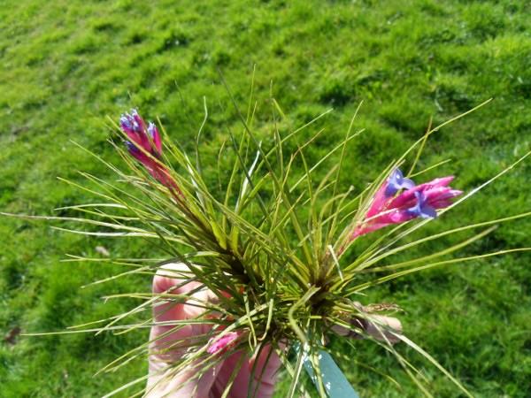 Tillandsia tenuifolia [MàJ] T__tenuifolia_20_02_13_petit