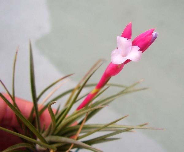 Tillandsia tenuifolia 'Saxicola' T__tenuifolia__Saxicola__29_07_13_petit