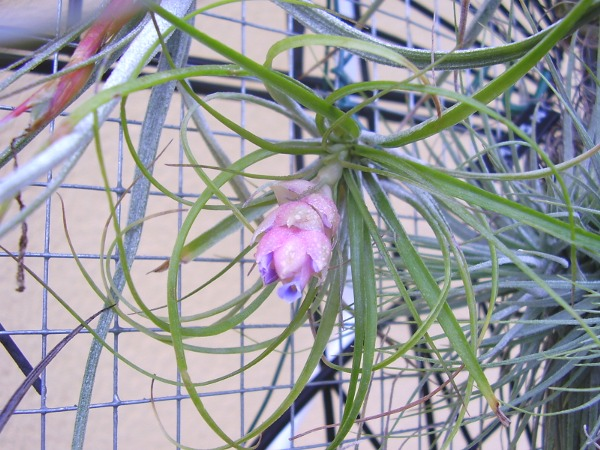 Tillandsia stricta Soft ('soft leaf form') Till_9_28_09_13_petit