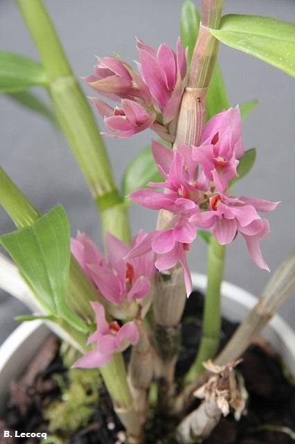 Dendrobium bracteosum IMG_0079