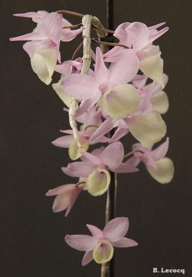 Dendrobium aphyllum (pierardii) Dendrobium_aphyllum