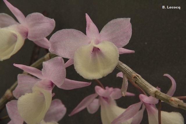 Dendrobium aphyllum (pierardii) Dendrobium_aphyllum_1
