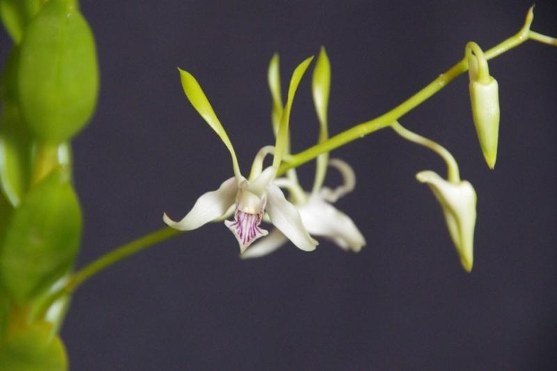Dendrobium stratiotes IMGP6594_28Copier29