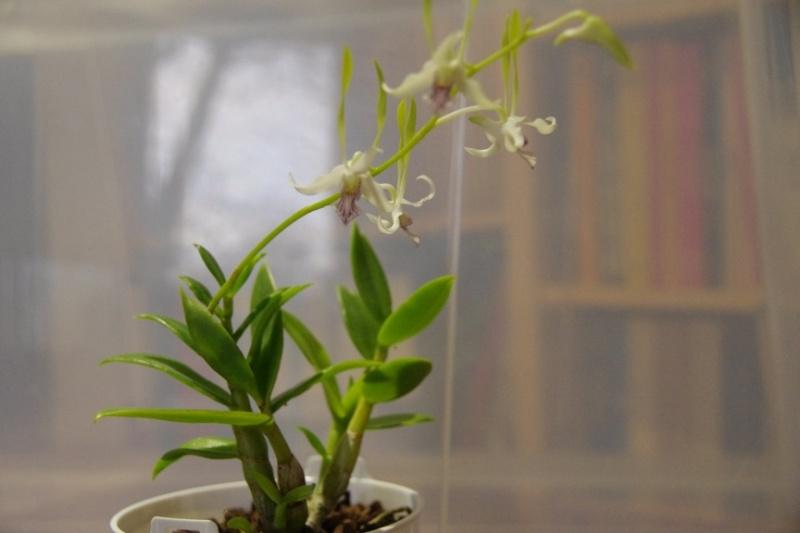 Dendrobium stratiotes IMGP7389_28Copier29