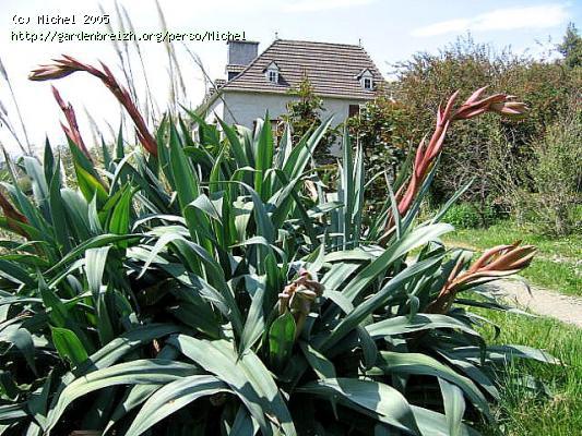 Beschorneria yuccoides GBPIX_photo_1496