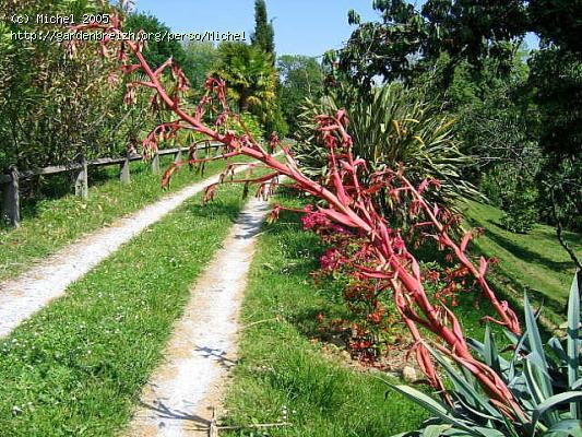 Beschorneria yuccoides GBPIX_photo_1827