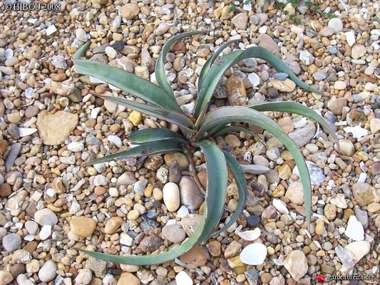 Yucca baccata GBPIX_photo_132314
