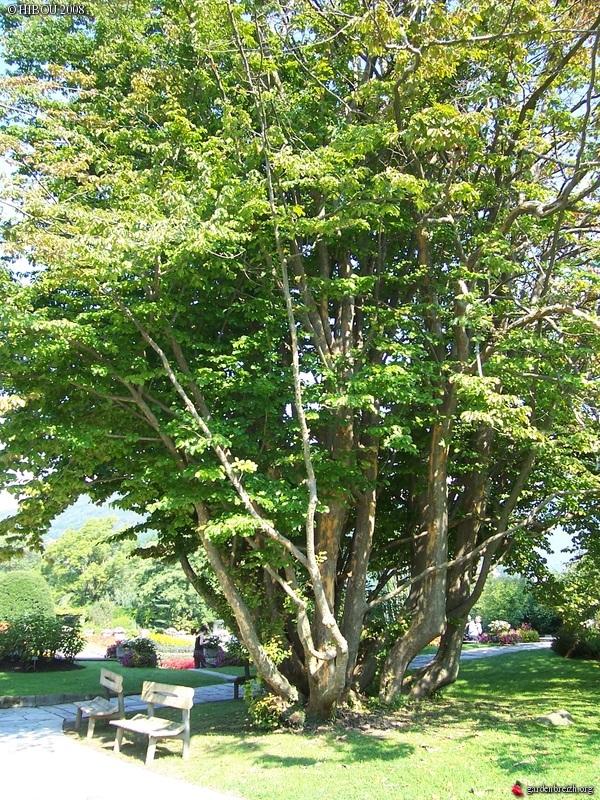 Parrotia persica - arbre de fer - Page 2 GBPIX_photo_138959