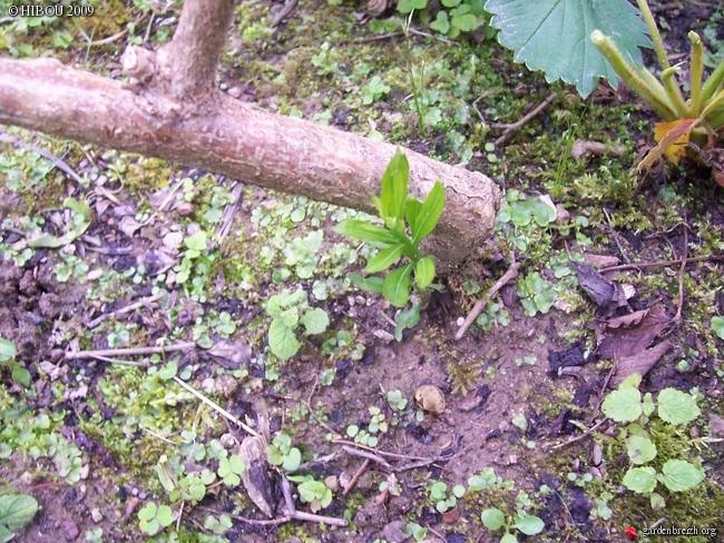Freylinia lanceolata GBPIX_photo_165536