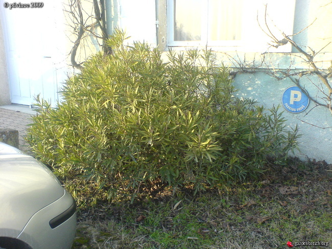 Nerium oleander - laurier rose GBPIX_photo_172993