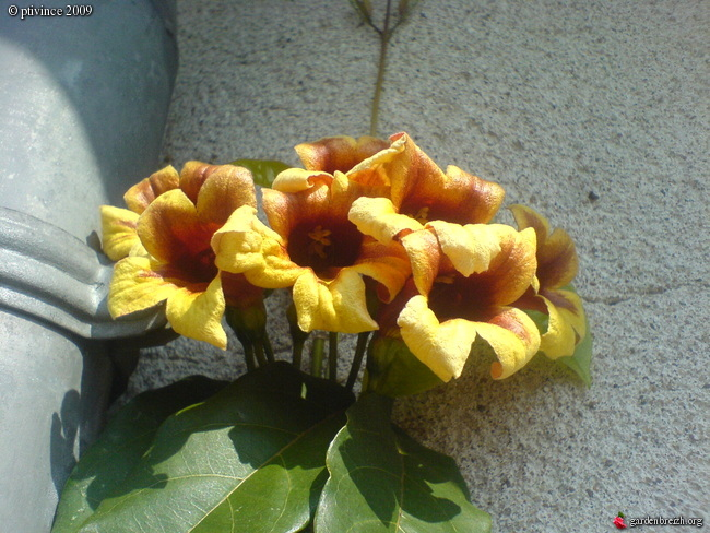 Bignonia capreolata 'Tangerine Beauty' GBPIX_photo_200666