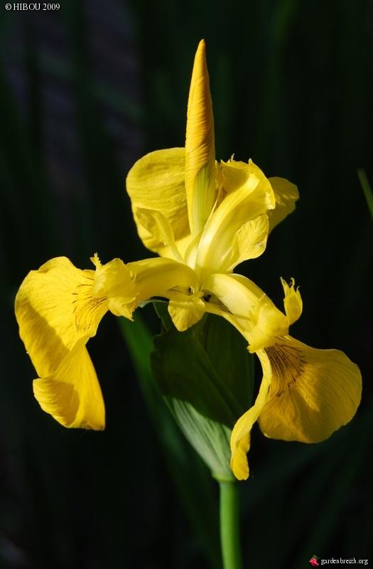 Les iris -culture, multiplication, entretien, variétés. - Page 2 GBPIX_photo_210300