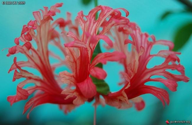 Hibiscus schizopetalus - hibiscus lanterne japonaise GBPIX_photo_237290