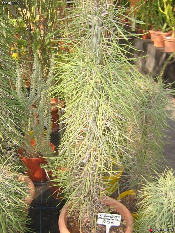 Didierea madagascariensis - Page 2 GBPIX_photo_269137