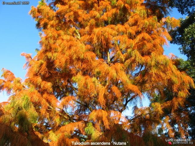 Taxodium distichum - cyprès chauve, cyprès de Louisiane  - Page 3 GBPIX_photo_285700