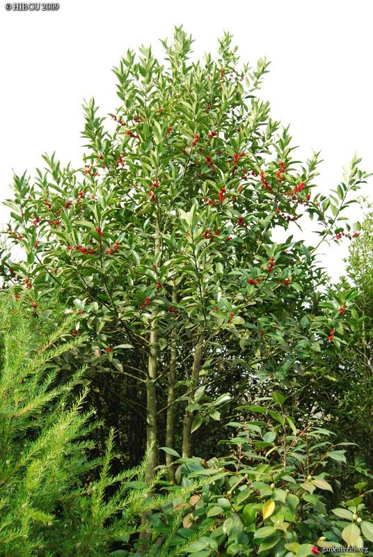 Ilex 'Castaneifolia' - houx à feuille de châtaignier - Page 2 GBPIX_photo_294273