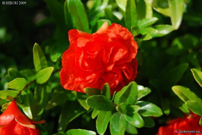 Le grenadier (punica granatum). Photos. Infos:entretien, culture. GBPIX_photo_301662
