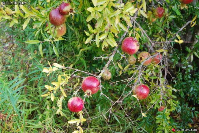 Le grenadier (punica granatum). Photos. Infos:entretien, culture. GBPIX_photo_301940