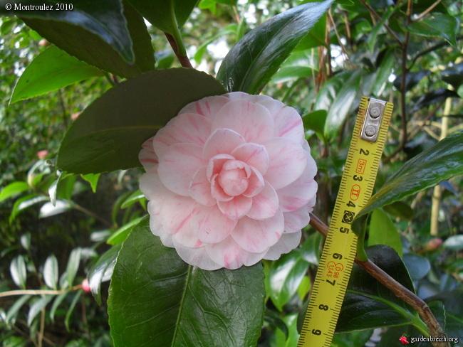 Camellia japonica punctata 'Boutourlin' (?) GBPIX_photo_323700