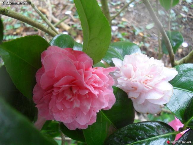 Camellia japonica punctata 'Boutourlin' (?) GBPIX_photo_331839