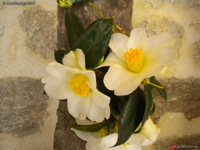 Camellia , saison 2015 - 2016 - Page 3 GBPIX_photo_334641